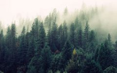 Alternate Text Not Supplied for nature-forest-trees-fog2.