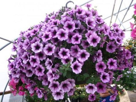 Petunias Arrive at Greenhouse